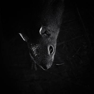 Squirrel Photograph - Midnight Raider by Susan Capuano