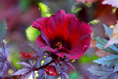 Photograph - Midnight Romance Acetosella Red Hibiscus by Karon Melillo DeVega