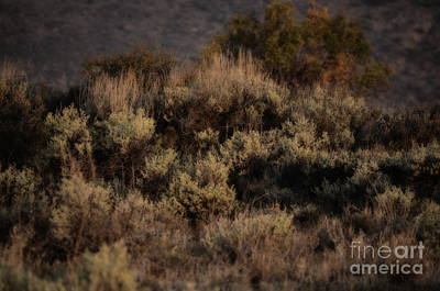 Photograph - Midnight Sage Brush by Donna Greene