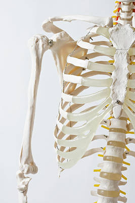 Human Joint Photograph - Midsection Of An Anatomical Skeleton Model by Rachel de Joode