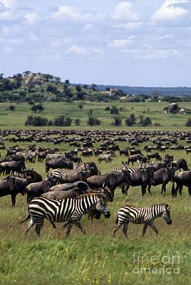 Photograph - Migration - Serengeti Plains Tanzania by Craig Lovell