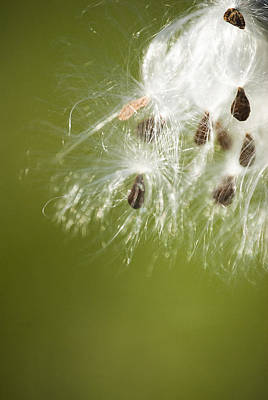 Photograph - Milk Weed Seed by Lisa Missenda