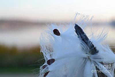 Photograph - Milkweed 2 by Justine Gersich