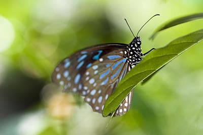 Photograph - Milkweed Butterfly II by Zoe Ferrie