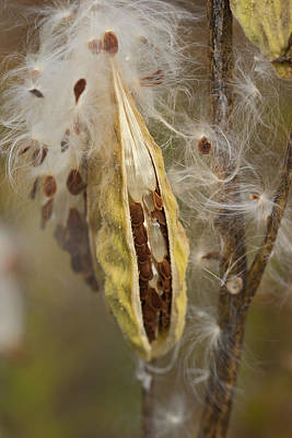 Photograph - Milkweed Pod Digitally Altered by Gregory Scott