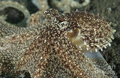 Mimic Octopus Head, North Sulawesi Art Print