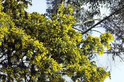 Mimosa (acacia Dealbata Subalpina) Art Print by Dr Keith Wheeler