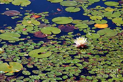 Dragonflys Photograph - Mini Lily Pads by Pauline Ross