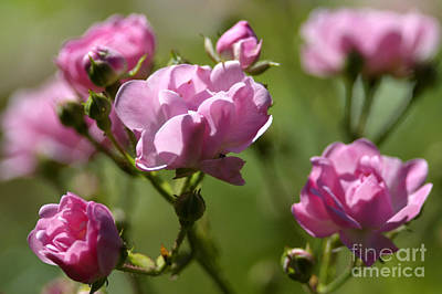 Miniature Pink Roses Frosted Art Print by Sharon Talson
