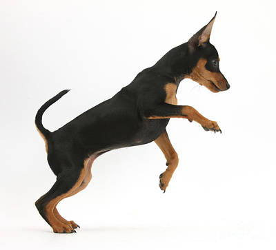 Photograph - Miniature Pinscher Puppy Jumping by Mark Taylor