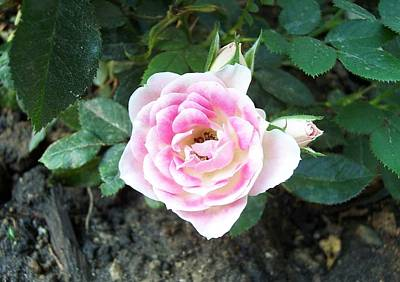 Photograph - Miniature Rose by Michelle Miron-Rebbe