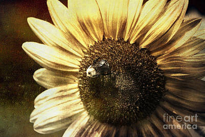 Sunflower Photograph - Mining For Gold by Sari Sauls