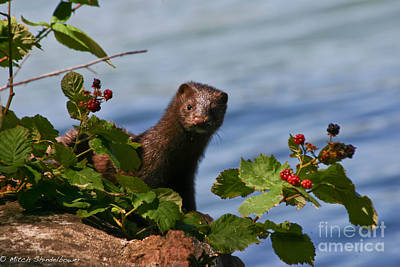 Art Print featuring the photograph Mink In Blackberries. by Mitch Shindelbower