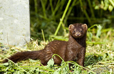 Photograph - Mink by Richard Lee