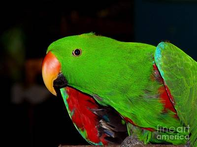 Photograph - Mister Eclectus Parrot by Donna Parlow