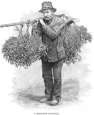 Photograph - Mistletoe Gatherer, 1894 by Granger