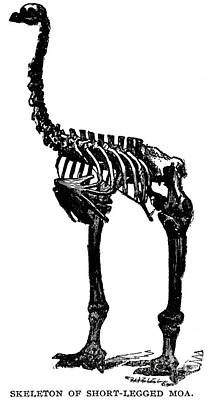 Moa Photograph - Moa Skeleton by Granger
