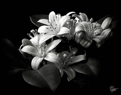 Photograph - Mock Orange In Black And White by Endre Balogh