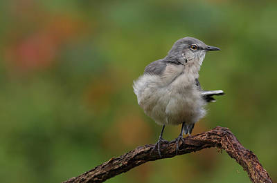 Photograph - Mocking Bird Perched In The Wind by Daniel Reed