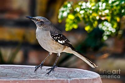 Photograph - Mocking Bird by Robert Bales