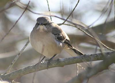 Photograph - Mockingbird Close Up by Christopher Kirby
