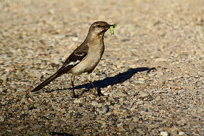 Photograph - Mockingbird Meal by Diana Hatcher
