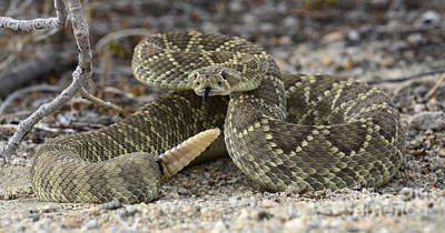 Mojave Green Rattlesnake  Art Print by Bob Christopher