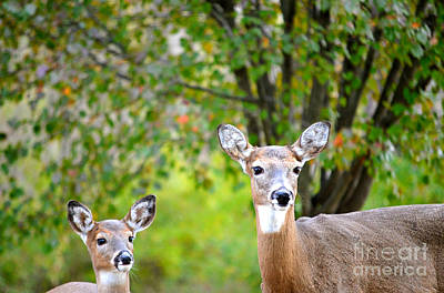 Photograph - Mom And Baby Deer by Peggy Franz