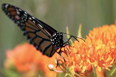 Photograph - Monarch And Butterfly Weed 2 by Scott Hovind