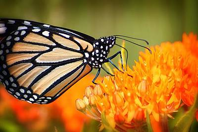 Photograph - Monarch And Butterfly Weed 3 by Scott Hovind