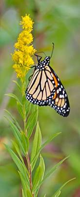 Monarch And Goldenrod  Art Print by Michael Peychich