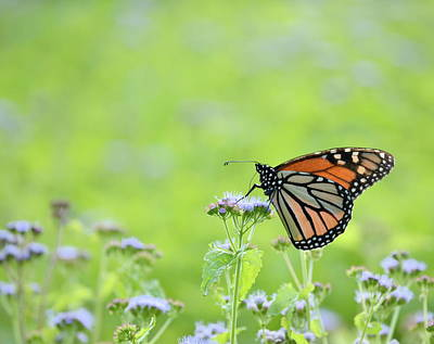 Photograph - Monarch And Mist by JD Grimes