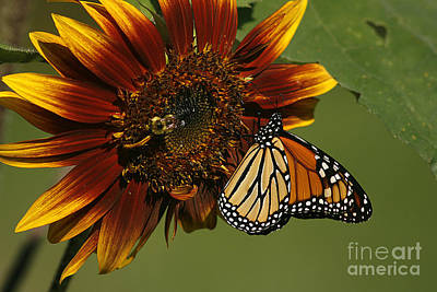 Monarch And The Bee Art Print