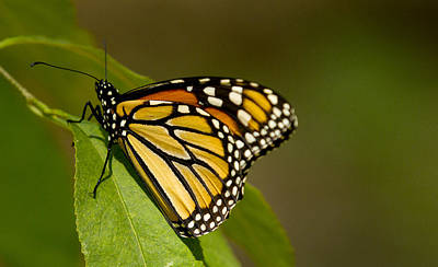 Monarch Beauty Art Print by Dean Bennett