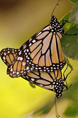 Monarch Bliss Art Print by Marty Koch