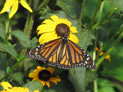 Photograph - Monarch Butterfly 4 by George Jones