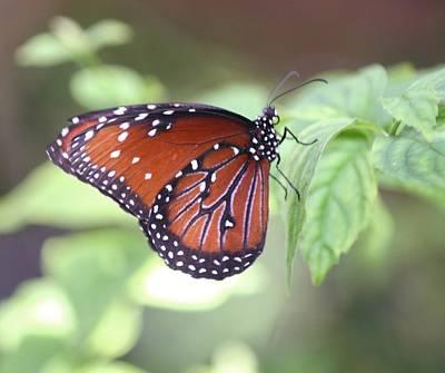 Monarch Butterfly Art Print by Andrea  OConnell