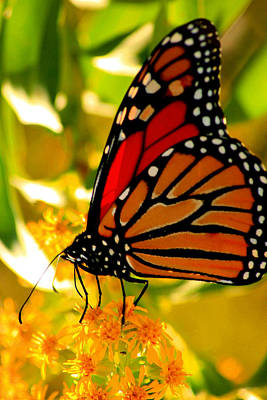 Photograph - Monarch Butterfly by Christopher Kirby