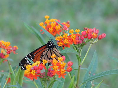 Monarch Butterfly Closeup Art Print