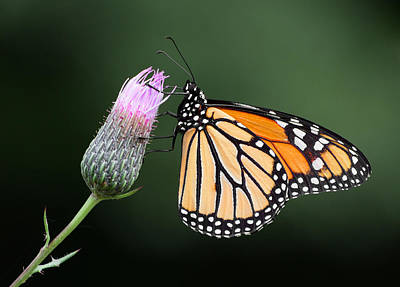 Photograph - Monarch Butterfly by Dale Kincaid