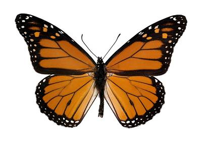 Monarch Butterfly Art Print by Dr Keith Wheeler