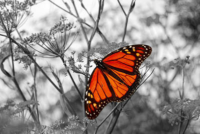Hollywood Style - Monarch Butterfly by Eva Kaufman
