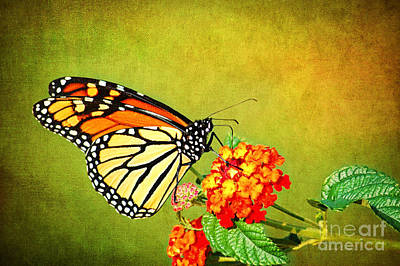 Photograph - Monarch Butterfly Feeding On Lantana by Cheryl Davis