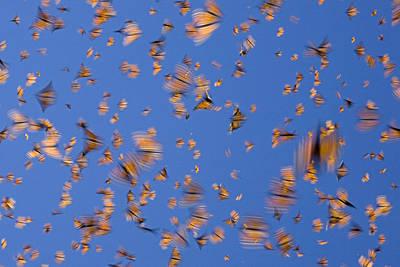 Monarch Butterfly Frenzy Art Print