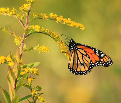 Photograph - Monarch Butterfly Hanging On Goldenrod by John Burk