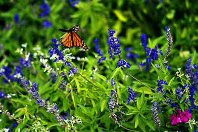 Butterfly In Flight Photograph - Monarch Butterfly In Flight by Douglas Barnard