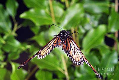Butterfly In Flight Photograph - Monarch Butterfly In Flight by Ted Kinsman