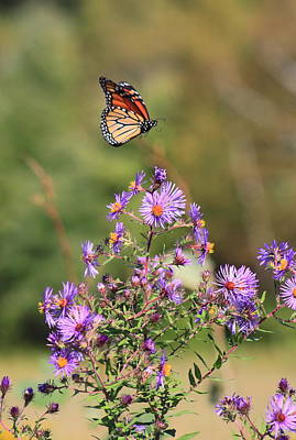 Photograph - Monarch Butterfly Landing On Aster by John Burk