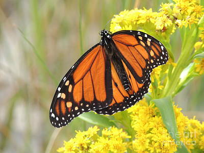 Monarch Butterfly Art Print by Laurence Oliver