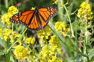 Photograph - Monarch Butterfly by Mark J Seefeldt